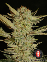 Serious Seeds Bubble Gum Feminized