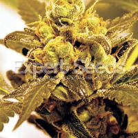 Expert Seeds Fruit Salad Feminized