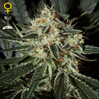 Green House Seeds Cheese Feminized