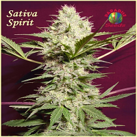 Paradise Seeds Sativa Spirit Regular
