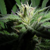 MTG Seeds Prezidential Kush 1.2 Regular