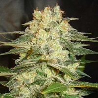 World of Seeds Afghan Kush Ryder Auto Feminized