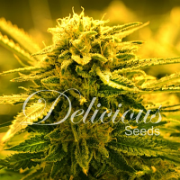 Delicious Seeds Sugar Black Rose Auto Feminized