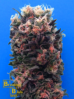 Breaking Buds Seeds Blue Sky 99% Feminized (PICK N MIX)