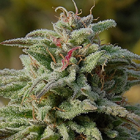 Big Head Seeds Trippy Gorilla Auto Feminized