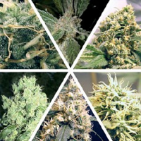 Ceres Seeds Ceres Mix Regular