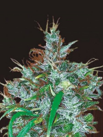 ACE Seeds Panama Haze Feminized