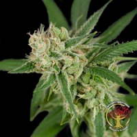Crockett Family Farms Seeds Sour Banana Sherbet Regular