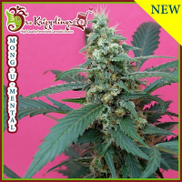 Dr Krippling Seeds Mong-U-Mental Feminized