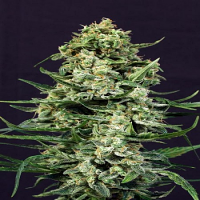Exotic Seed Sir Jack Auto Feminized