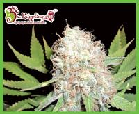Dr Krippling Seeds Bud Bud Bling Tingz Feminized