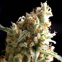 Pyramid Seeds Auto Super Hash Feminized
