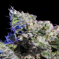 Elemental Seeds Huckleberry Regular