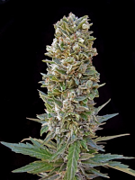 Advanced Seeds Automatik Mix Feminized