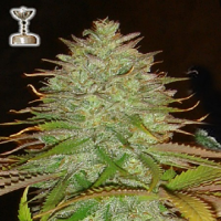Apothecary Genetics Seeds Kaia Kush Regular