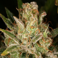 Reeferman Seeds Blueberry Blast Regular