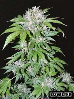 Lowlife Seeds Automatic Mix Feminised