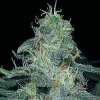BliumBurn Seeds BC Diesel Feminized
