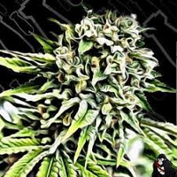 Critical Mass Collective Seeds Auto Anonymass Feminized (PICK N MIX)