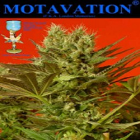 Magus Genetics Seeds Motavation Feminised