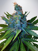 Ministry of Cannabis Seeds Hay-Z Feminized