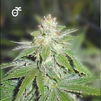 Medical Seeds Devil Fruit Feminized