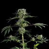 Dinafem Seeds Moby Dick #2 Feminized (PICK N MIX)