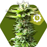Zambeza Seeds Critical Kush XL Auto Feminized