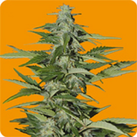 Seeds of Life Hindiana Auto Feminized
