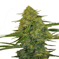 CBD Botanic Seeds CBD Chem Dawg Feminized