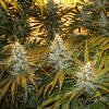 Sagarmatha Seeds Chunky Cheese Feminized