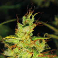 Medical Seeds 2046 Feminized