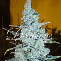 Delicious Seeds Critical Jack Herer Feminized