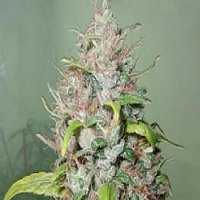 Next Generation Seeds Island Sweet Skunk Regular