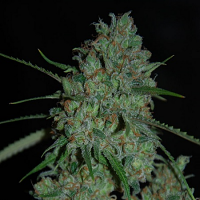 Expert Seeds Afghan Skunk Feminized
