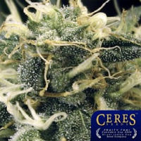 Ceres Seeds Fruity Thai Feminized
