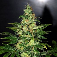 World of Seeds Legends Collection Chronic Haze Feminized