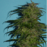 Jordan of the Islands Seeds Deep Purple Regular