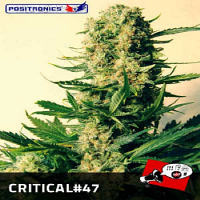 Positronics Seeds Critical #47 Feminized