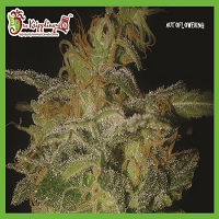 Dr Krippling Seeds The Incredible Bulk Auto Feminized