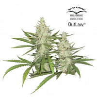 Dutch Passion Seeds Outlaw Feminized