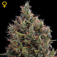 Green House Seeds Big Bang Auto Feminised