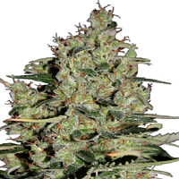 Seedmakers Seeds Auto Critical Feminized