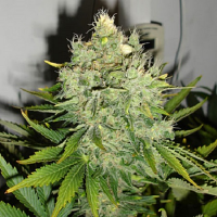 Black Skull Seeds Pepper Jack Haze Feminized
