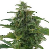 AC Genetics Low Diesel Auto Feminized