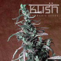 Kush Cannabis Seeds Haze Kush Regular