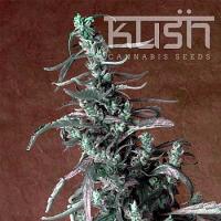 Kush Cannabis Seeds Haze Kush Regular