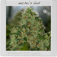 Blimburn Seeds Blimburn Bcn Range Nacho Bud Feminised