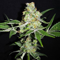 CBD Crew Seeds CBD Outdoor Mix Feminized