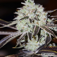 Karma Genetics Seeds Mahayana Regular